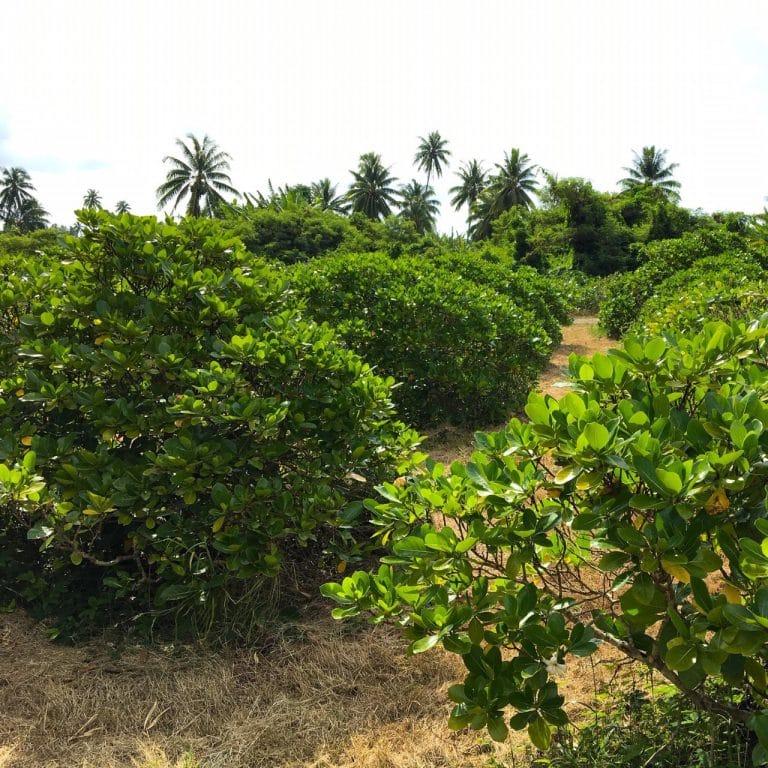 Tiare Tahiti Plantage
