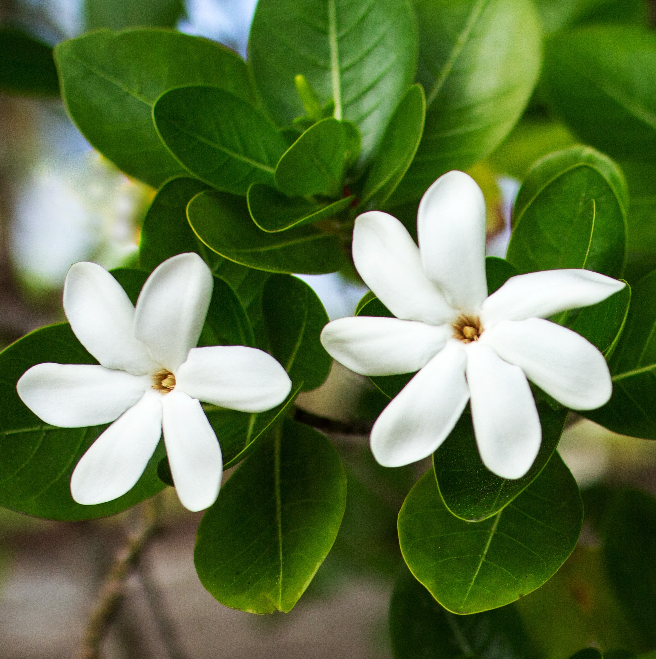 Tiare Tahiti ~ The Flower of Beauty